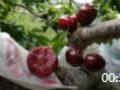 汉源黑珍珠大樱桃车厘子新鲜水果孕妇脆甜套袋黑珍珠 (20播放)