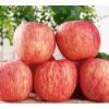 烟台红富士苹果大果5斤山东栖霞直发现摘当季新鲜水果整箱包邮10