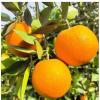 尚口鲜新鲜水果秭归夏橙5斤装 单果100g起新鲜橙子酸甜可口包邮